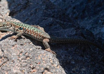 Wall Lizard on Lava Sicily