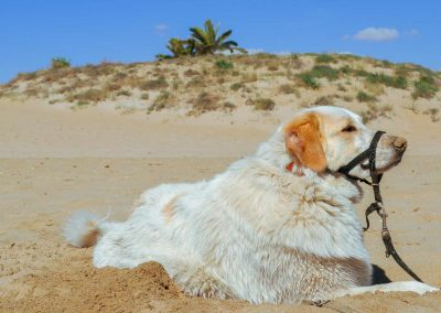 Mountain Dog on the beach in Spain